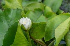 Zamyka w górę lotosowego kwiatu i lotosowego kwiatu rośliien Zdjęcia Royalty Free