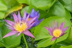 Zamyka w górę lotosowego kwiatu i lotosowego kwiatu rośliien Zdjęcia Stock