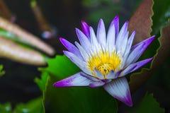 Zamyka w górę lotosu i liści na wodzie Obraz Stock