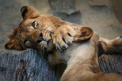 Zamyka w górę lwów fotografia stock