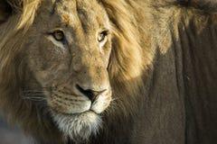 Zamyka w górę Męskiego lwa obrazy stock