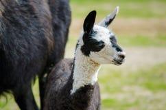 Zamyka w górę młodego lama Zdjęcie Royalty Free