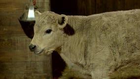 Zamyka w górę młodych cakli przy zwierzęcym gospodarstwem rolnym zdjęcie wideo