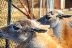 Zamyka w górę młodych lam w zoo Zdjęcie Royalty Free