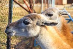 Zamyka w górę młodych lam w zoo Zdjęcia Royalty Free