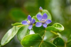 Zamyka w górę małych błękitnych kwiatów Zdjęcia Royalty Free