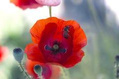 Zamyka w górę maczek głowy Czerwony maczek Czerwony makowy kwiatu pole Papaver Zdjęcia Royalty Free