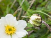Zamyka w górę makro- białego japońskiego anemonu i pączka kwiat, selekcyjna ostrość, skacze kwiecisty tło obrazy royalty free