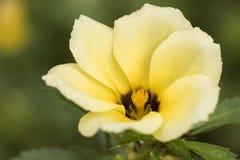 Zamyka w górę makro- kwiat z płatkami i szczegółem w purpurach białymi i żółtymi obrazy stock