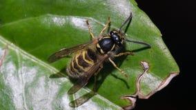 Zamyka w górę Makro- Pospolita osa, Vespula vulgaris na zielonym liściu z czarnym tłem/ zdjęcia royalty free