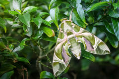 Zamyka w górę makro- zielonego motyliego oleandrowego jastrzębia ćma na liściu Obraz Royalty Free