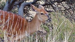 Zamyka w górę materiału filmowego Nyala Ewe karmienie na muśnięciu w Kalahari regionie południowy Africa zdjęcie wideo