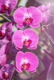 Zamyka w górę menchia paskującego storczykowego phalaenopsis bukieta w szklarni Obraz Stock
