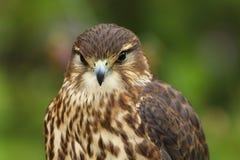 Zamyka w górę Merlin, Falco columbarius, ptak zdobycz obrazy royalty free