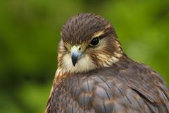 Zamyka w górę Merlin, Falco columbarius, ptak zdobycz zdjęcia royalty free