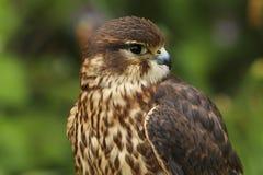 Zamyka w górę Merlin, Falco columbarius, ptak zdobycz obraz stock