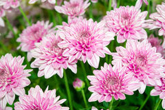 Zamyka w górę miękkich części menchii chryzantemy kwiatów natury Zdjęcia Royalty Free