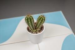 Zamyka w górę mini kaktusowych prickles w białym flowerpot na błękicie i obrazy royalty free