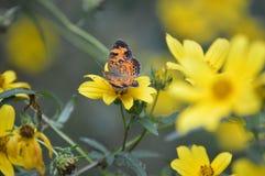 Zamyka w górę motyla chwytającego w NC Fotografia Stock