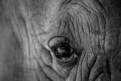 Zamyka w górę nosorożec oka Zdjęcie Stock