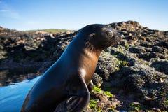 Zamyka w górę Nowa Zelandia dennego lwa Zalophus californianus pozuje na skale w rafach plaża obraz royalty free