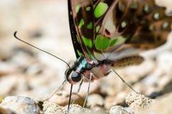 Zamyka w górę Ogoniastego Jay motyla z zielonych punkty na skrzydłach Fotografia Stock