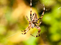 Zamyka w górę ogrodowego pająka obwieszenia na sieci Araneus diadematus zdjęcie royalty free