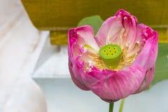 Zamyka w górę okwitnięcie lotosowego kwiatu dla tła Obraz Royalty Free