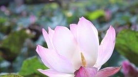 Zamyka w górę okwitnięcie lotosu przy stawem zbiory wideo