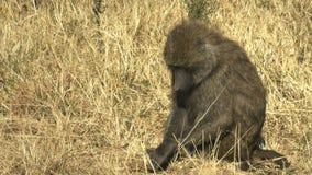 Zamyka w górę oliwnego pawianu w masai Mara parku narodowym, Kenya zbiory