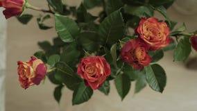 Zamyka w górę płytkiej głębii pole ruchu czasu upływu strzał żywych różowych róż up i kręcenie suszarnicze purpury gdy umierają zbiory