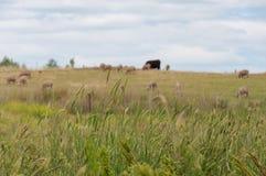 Zamyka w g?r? padok trawy z sylwetkami zwierz?ta gospodarskie na tle obrazy stock