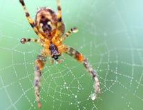 Zamyka w górę pająka w sieci pajęczaki fotografia royalty free