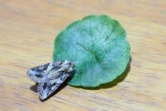 Zamyka w górę pięknego ćma umieszcza zielonego liść na drewnie Fotografia Stock