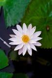 Zamyka w górę pięknego białego lotosowego kwiatu w balii ciemnym czerni Obrazy Royalty Free
