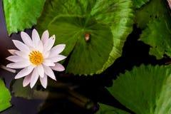Zamyka w górę pięknego białego lotosowego kwiatu w balii ciemnym czerni Fotografia Stock