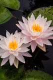 Zamyka w górę pięknego białego lotosowego kwiatu w balii ciemnym czerni Fotografia Royalty Free