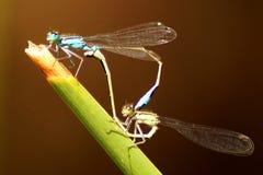 Zamyka w górę pięknego dragonfly w naturze obrazy royalty free