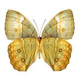 Zamyka w górę pięknego Kambodżańskiego Junglequeen niskiego skrzydła motyliego pa Fotografia Stock