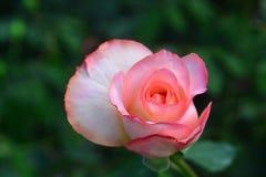 Zamyka w górę pięknego menchii róży kwiatu Zdjęcie Royalty Free