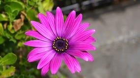 Zamyka w górę pięknego Osteospermum Afrykańskiej stokrotki fiołkowego kwiatu Zdjęcie Stock