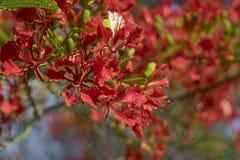 Zamyka w górę Pięknego poinciana, pawi kwiat, Gulmohar kwiat z plamy tłem Zdjęcia Stock