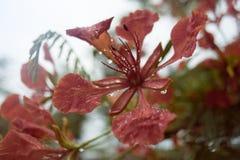 Zamyka w górę Pięknego poinciana, pawiego kwiatu, Gulmohar kwiatu i wody kropli deszcz z plamy tłem, filtrujący wizerunek fotografia royalty free