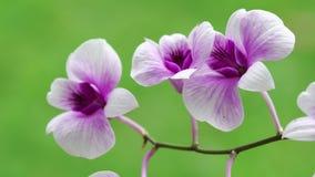 Zamyka W górę pięknego purpur lub fiołka kwiatu storczykowego kwitnienia w ogródzie zbiory