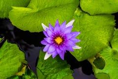 Zamyka w górę pięknego purpurowego lotosowego kwiatu w balii ciemnym czerni Obraz Stock