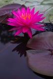 Zamyka w górę pięknego różowego lotosowego kwiatu w balii ciemnym czerni Fotografia Stock