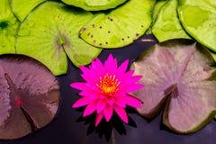 Zamyka w górę pięknego różowego lotosowego kwiatu w balii ciemnym czerni Obrazy Royalty Free