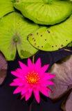 Zamyka w górę pięknego różowego lotosowego kwiatu w balii ciemnym czerni Zdjęcie Royalty Free