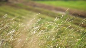 Zamyka w górę pięknego trawa ciosu w wiatrze w ranku Dziki zakończenie w górę trawy dmuchania w wiatrze w wiejskiej wsi z światłe zdjęcie wideo