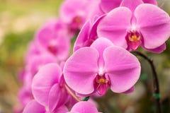Zamyka w górę pięknej natury Phalaenopsis storczykowych menchii Fotografia Royalty Free